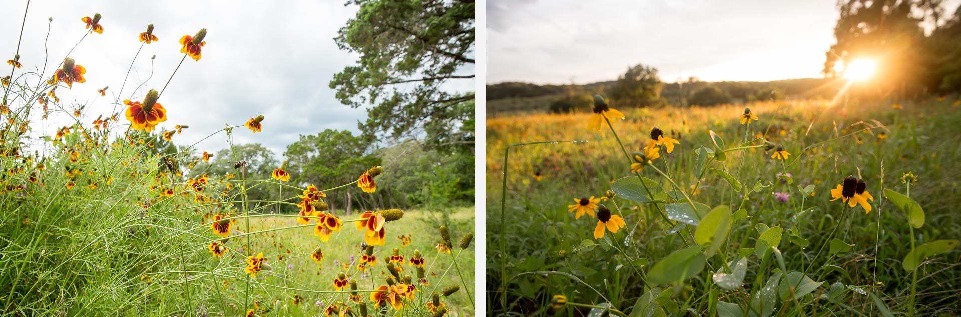 Hill Country Wildflowers Photography
